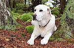 Yellow Labrador dog by bright green moss pockets in forest, Detour, Michigan, USA Stock Photo - Premium Royalty-Free, Artist: Robert Harding Images, Code: 682-05977001