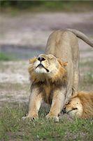 A Lion stretching, Okavango Delta, Botswana Stock Photo - Premium Royalty-Freenull, Code: 682-05977087