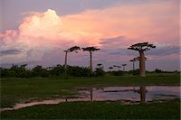 road landscape - A wetland with Adansonia grandidieris at dusk, Avenue of the Baobabs, Madagascar Stock Photo - Premium Royalty-Freenull, Code: 682-05977115