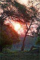 Mana Pools sunset seen through Faidherbia albida woodlands on old river terraces, Lower Zambezi Valley, Zimbabwe Stock Photo - Premium Royalty-Freenull, Code: 682-05977391