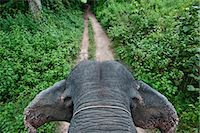 First person view of riding elephant in forest in Pai, Northern Thailand, Thailand. Stock Photo - Premium Royalty-Freenull, Code: 682-05977433