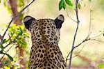 A rear view of a Leopard's head and shoulders, Okavango Delta, Botswana Stock Photo - Premium Royalty-Free, Artist: GreatStock, Code: 682-05977517