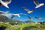 Hartlaub's Gulls flying away, Hout Bay, Western Cape, South Africa Stock Photo - Premium Royalty-Free, Artist: Robert Harding Images, Code: 682-05977715