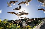 Hartlaub's Gulls flying away, Hout Bay, Western Cape, South Africa Stock Photo - Premium Royalty-Free, Artist: Janet Foster, Code: 682-05977718