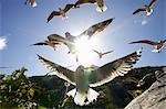 Hartlaub's Gulls flying away, Hout Bay, Western Cape, South Africa Stock Photo - Premium Royalty-Free, Artist: Water Rights, Code: 682-05977719
