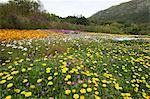 Meadow with daisies, Kirstenbosch, Cape Town, Western Cape, South Africa Stock Photo - Premium Royalty-Free, Artist: Cultura RM, Code: 682-05977727