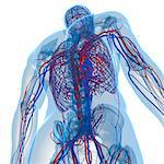 Cardiovascular system, computer artwork. Stock Photo - Premium Royalty-Free, Artist: ableimages, Code: 679-05994145