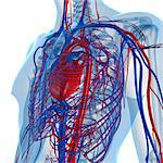 Cardiovascular system, computer artwork. Stock Photo - Premium Royalty-Free, Artist: Blend Images, Code: 679-05994189