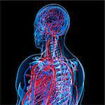Cardiovascular system, computer artwork. Stock Photo - Premium Royalty-Free, Artist: Aurora Photos, Code: 679-05994213