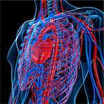 Cardiovascular system, computer artwork. Stock Photo - Premium Royalty-Free, Artist: Ikon Images, Code: 679-05994234
