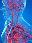 Cardiovascular system, computer artwork. Stock Photo - Premium Royalty-Free, Artist: Science Faction, Code: 679-05994332