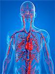 Cardiovascular system, computer artwork. Stock Photo - Premium Royalty-Free, Artist: Ikon Images, Code: 679-05994398