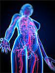 Cardiovascular system, computer artwork. Stock Photo - Premium Royalty-Freenull, Code: 679-05994497