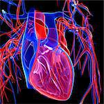 Cardiovascular system, computer artwork. Stock Photo - Premium Royalty-Free, Artist: Universal Images Group, Code: 679-05994663