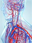 Cardiovascular system, computer artwork. Stock Photo - Premium Royalty-Free, Artist: Science Faction, Code: 679-05994698