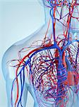 Cardiovascular system, computer artwork. Stock Photo - Premium Royalty-Free, Artist: Science Faction, Code: 679-05994706