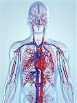 Cardiovascular system, computer artwork. Stock Photo - Premium Royalty-Free, Artist: Science Faction, Code: 679-05994752