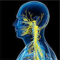spinal column - Nervous system, computer artwork. Stock Photo - Premium Royalty-Freenull, Code: 679-05994872