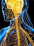 Nervous system, computer artwork. Stock Photo - Premium Royalty-Free, Artist: Westend61, Code: 679-05994893