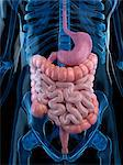 Healthy digestive system, computer artwork. Stock Photo - Premium Royalty-Free, Artist: Science Faction, Code: 679-05995249