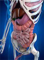 Human anatomy, computer artwork. Stock Photo - Premium Royalty-Freenull, Code: 679-05995280