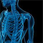 Upper body bones, computer artwork. Stock Photo - Premium Royalty-Free, Artist: Science Faction, Code: 679-05995437