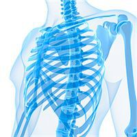 rib - Upper body bones, computer artwork. Stock Photo - Premium Royalty-Freenull, Code: 679-05995447