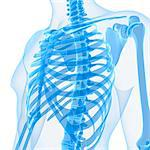 Upper body bones, computer artwork. Stock Photo - Premium Royalty-Free, Artist: Science Faction, Code: 679-05995447