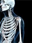 Upper body bones, computer artwork. Stock Photo - Premium Royalty-Free, Artist: Universal Images Group, Code: 679-05995450