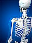 Upper body bones, computer artwork. Stock Photo - Premium Royalty-Free, Artist: Science Faction, Code: 679-05995454