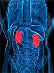 Healthy kidneys, computer artwork. Stock Photo - Premium Royalty-Free, Artist: Science Faction, Code: 679-05995493