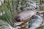 A Weddell Seal resting in a rock pool on crescent-shaped Half Moon Island in the South Shetlands. This seal is the southernmost pinniped in the world and is not endangered. Stock Photo - Premium Rights-Managed, Artist: AWL Images, Code: 862-05996658