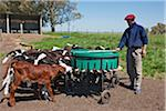 Calves being fed milk using a large plastic drum with numerous rubber teets, Estancia El Choique Viejo, Argentina Stock Photo - Premium Rights-Managed, Artist: AWL Images, Code: 862-05996695