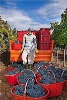 Italy, Umbria, Terni district, Giove, Grape harvest in Sandonna winery Stock Photo - Premium Rights-Managednull, Code: 862-05998221