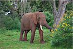 An African bull elephant feeding on Crotalaria and Cassia in a forest glade of the Aberdare Mountains. Stock Photo - Premium Rights-Managed, Artist: AWL Images, Code: 862-05998357