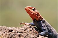 Portrait of a common (or red-headed rock) agama, basking on a rock in Lake Nakuru National Park, Kenya. Stock Photo - Premium Rights-Managednull, Code: 862-05998404