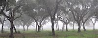 Cork trees in the mist. Portugal Stock Photo - Premium Rights-Managed, Artist: AWL Images, Code: 862-05998951