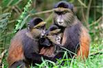 Golden monkey (Cercopithecus mitis kandti) with young in a grassy clearing in bamboo forest on the slopes of Volcanoes National Park, Rwanda. Stock Photo - Premium Rights-Managed, Artist: AWL Images, Code: 862-05999050