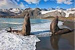 Two male Southern Elephant Seals rear up, booming and roaring, ready to fight over females or territory. These seals are the largest in the world with males weighing up to 4 tons. Stock Photo - Premium Rights-Managed, Artist: AWL Images, Code: 862-05999117