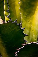 Detail of a Cactus in Lanzarote, Spain Stock Photo - Premium Rights-Managednull, Code: 862-05999403