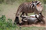 Zebra foal whinnies as its mother dust-bathes, Ngorongoro Crater, Tanzania Stock Photo - Premium Rights-Managed, Artist: AWL Images, Code: 862-05999551