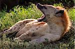 Spotted hyena yawning, Serengeti National Park, Tanzania Stock Photo - Premium Rights-Managed, Artist: AWL Images, Code: 862-05999557