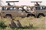 Safari vehicles parked near a family of cheetahs (mother and cubs) in Serengeti National Park, Tanzania. Stock Photo - Premium Rights-Managed, Artist: AWL Images, Code: 862-05999561