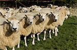 Flock of sheep standing together Stock Photo - Premium Royalty-Free, Artist: CulturaRM, Code: 649-06001291