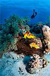 Anemone fish and diver in the Red Sea, Egypt Stock Photo - Premium Royalty-Free, Artist: Robert Harding Images, Code: 614-06002164
