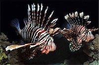 Two Lionfish in the Red Sea, Egypt Stock Photo - Premium Royalty-Freenull, Code: 614-06002165