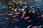 Koi carp in pond Stock Photo - Premium Royalty-Free, Artist: Visuals Unlimited, Code: 614-06002495