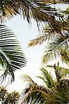 Palm trees, low angle Stock Photo - Premium Royalty-Free, Artist: Westend61, Code: 614-06002512