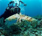 Diver and Mating Cuttlefish Stock Photo - Premium Royalty-Freenull, Code: 614-06002540