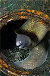 Moray Eel hiding in Litter Stock Photo - Premium Royalty-Free, Artist: ableimages, Code: 614-06002542